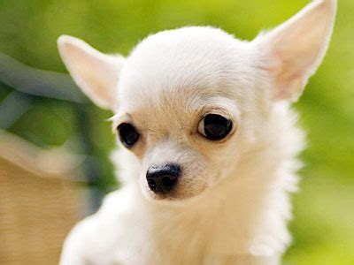 How To House A Chihuahua by Chihuahua Information Characteristics Facts Names