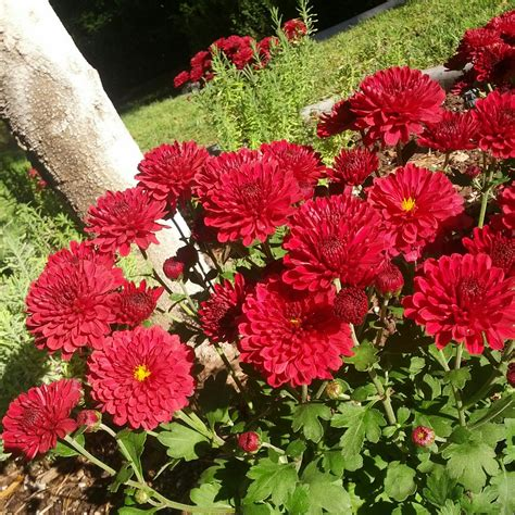 how to grow chrysanthemums garden wendys hat