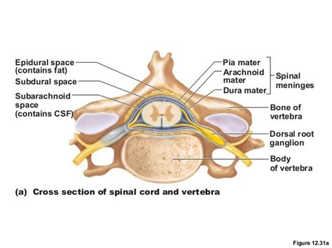 spinal nerve cross section spinal cord and spinal nerves lab