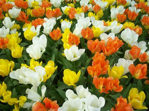 images flowers tulips flowers photo 22284092 fanpop