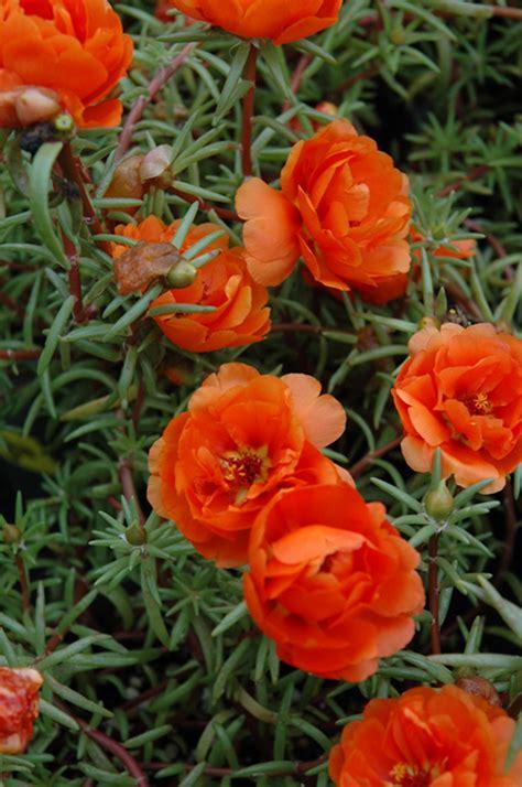 sundial orange portulaca portulaca grandiflora sundial