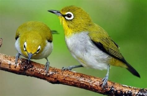 Makanan Burung Pleci Aikguan 12 cara membedakan pleci jantan dan betina gemarburung