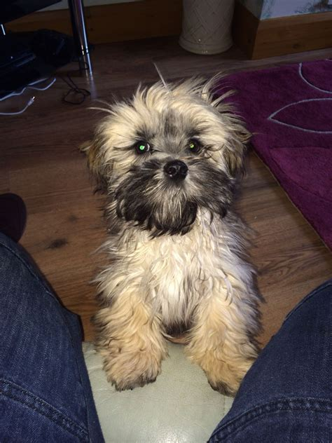 shih tzu x lhasa apso for sale shih tzu x lhasa apso for sale driffield east of pets4homes