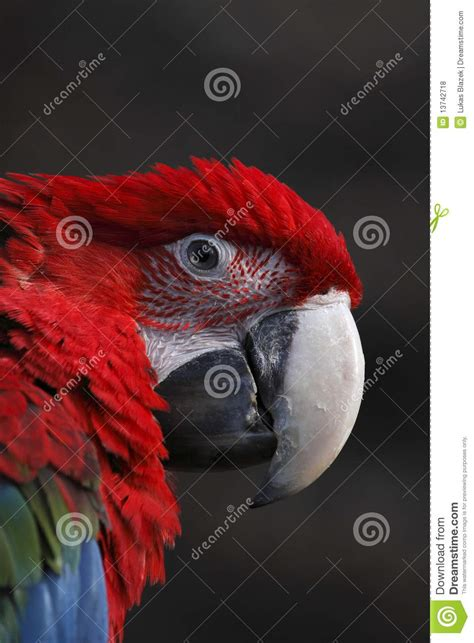 françois perrot cuban red macaw extinct
