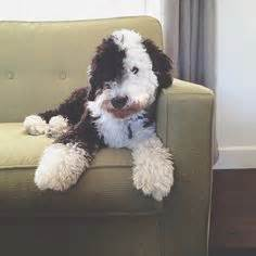 sheep doodle puppy sheep poodle sheepadoodle sheep dogs poodle and sheep