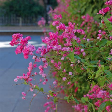 St Bunga Panjang aneka tanaman rambat untuk dekorasi eksterior rooang