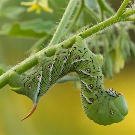 tomato hornworm control planet natural