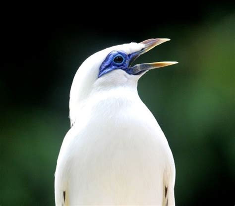the bali starling