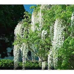 wisteria tree fragrant shrubs vines and trees from