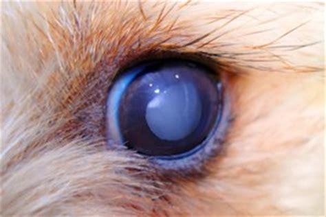 puppy cataracts cataracts in dogs