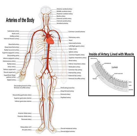 diagram of arteries artery diagrams diagram site