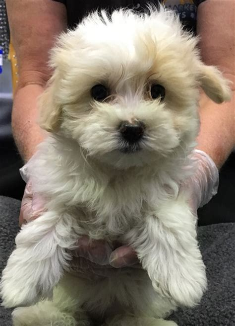 maltese shih tzu breeders vic puppies for sale in melbourne buy pet products upmarket pets store