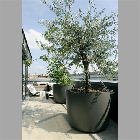 coltivare in vaso ulivo in vaso piante da giardino coltivare ulivi in vaso