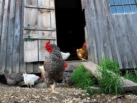 chicken in backyard episode 311 backyard chickens growing a greener world 174