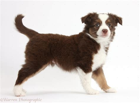 mini american shepherd puppies mini american shepherd puppy photo wp39711