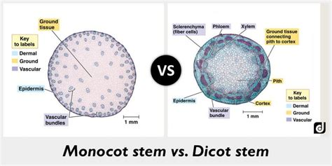 difference between monocot and dicot leaf cross section difference between monocot and dicot stem