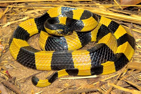 Lepaparazzi News Update Ricci And In Black Snake Moon by Black And Yellow Banded Snake Www Pixshark Images