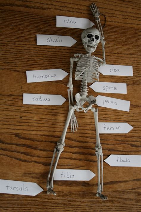 How To Make A Human Skeleton Out Of Paper - easy diy bone identification lesson awake parent