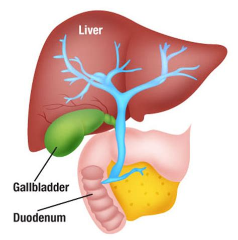 diagram of gall bladder diagram for gallbladder choice image how to guide and