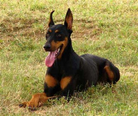 doberman dog house most dangerous dogs learn more about the most dangerous dog breads