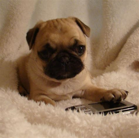 perth pugs for sale pugs purebred fawn apricot tinge 8 wk