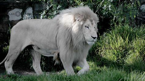 imagenes de leones albinos visita a reino animal angular 11 18