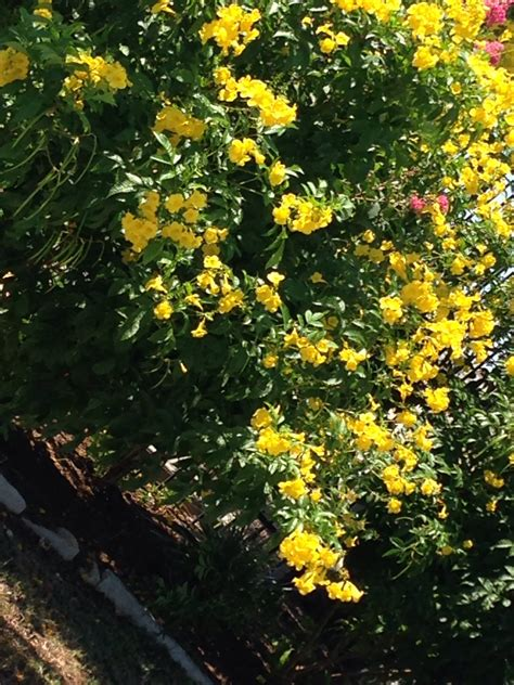 yellow flowers shrub ask an expert