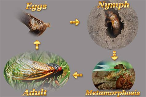 wasp life cycle related keywords wasp life cycle long