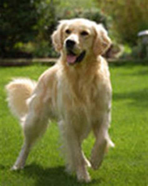 golden retriever breeders south florida golden retriever rescue puppies