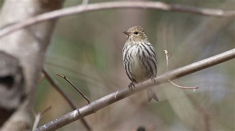 pine siskin song call voice sound