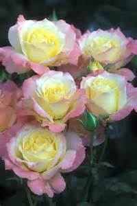 yellow roses with tips yellow roses with pink tips bells and white yellow roses pink and yellow
