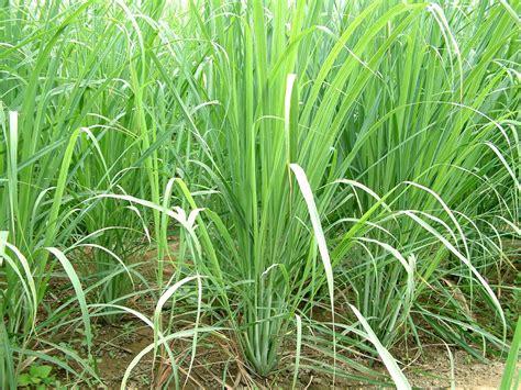 cymbopogon lemongrass citronella grass auntie dogma s garden spot