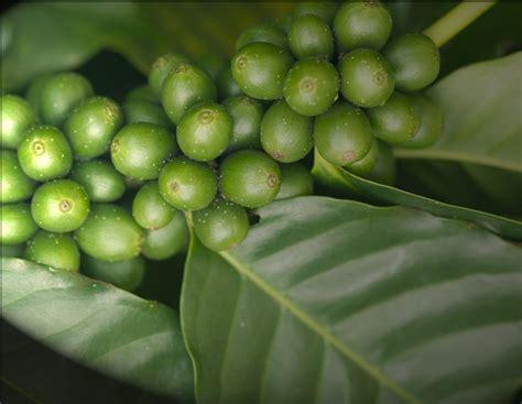 Sindoro Green Coffee Arabica arabica green coffee vickymar naturals
