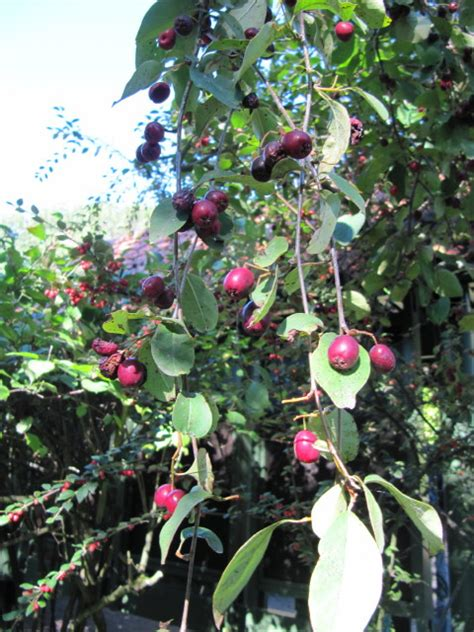 alimenti con flavonoidi file aronia berries jpg wikimedia commons