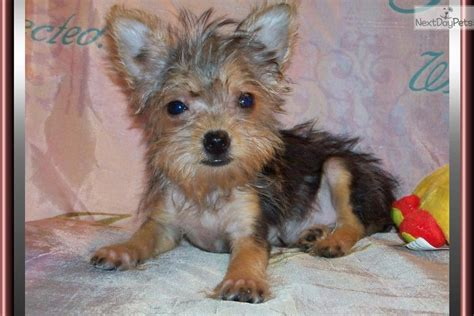 chorkie puppies newborn chorkie puppies images