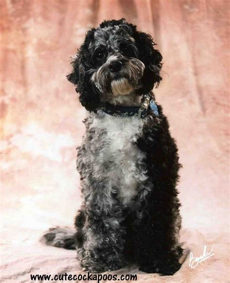 oregon classifieds puppies pin cockapoo puppies for sale in oregon ohio classifieds americanlisted on
