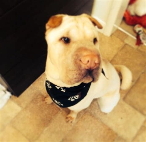 shar pei puppies for adoption gorgeous shar pei for adoption chelmsford essex pets4homes