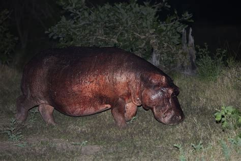what color are hippos do hippos sweat blood learn about hippo perspiration