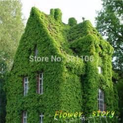 List Of Climbing Plants - aliexpress com buy 40 bostonian ivy wall ivy