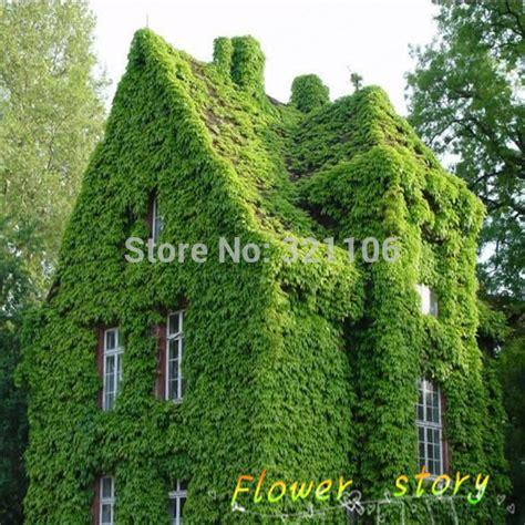 climbing wall plants aliexpress buy 40 bostonian wall