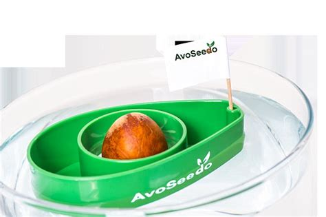 avocado seed boat how to grow your own avocado in a plastic bowl floating on