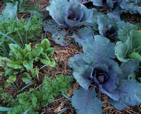 Mulch For Vegetable Garden by Vegetable Garden With Mulch Flickr Photo