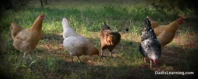 backyard chicken com backyard chicken images has had backyard chickens