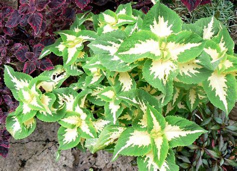 colourful foliage plants colorful foliage plants for gardens coleus