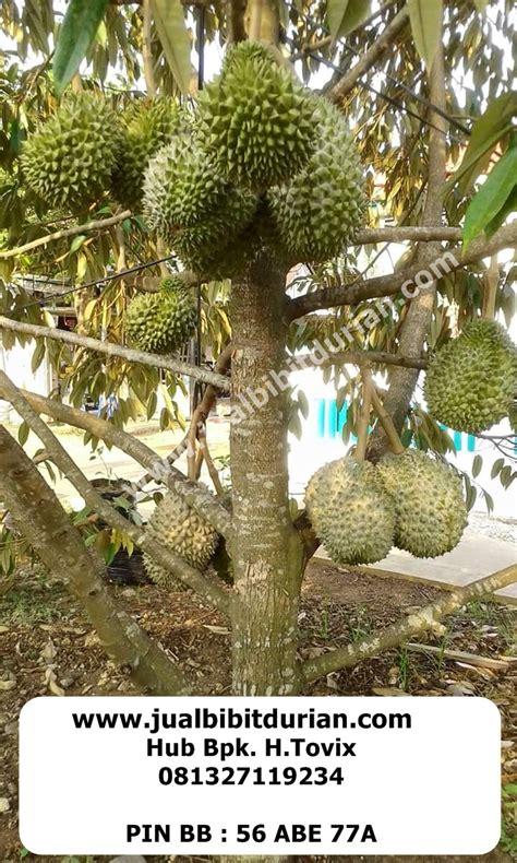 pohon durian bibit durian jual bibit durian beli bibit