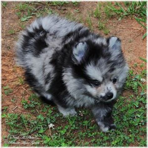 lavender pomeranian puppies blue merle pomeranian puppy need a photo photography animals birds fish