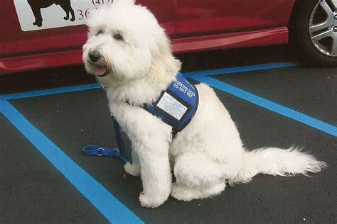 places that service dogs australian labradoodles as service dogs and therapy dogs
