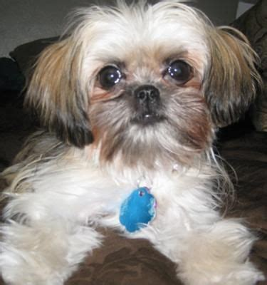 shih tzu of war best 25 shih tzu maltese mix ideas on maltese shih tzu bichon shih tzu