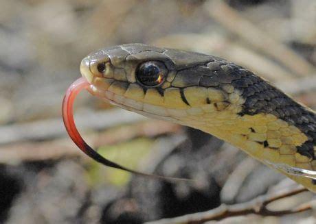 Garter Snake Foul Smell Garter Snakes In Richmond Charlottesville To Be Revered