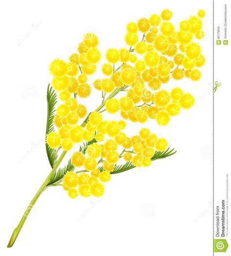 fiore delle donne fiore giallo della mimosa simbolo fiore della mimosa